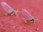 Ephemerella invaria femelle pondant ses oeufs sur un mûr qu'elle a confondu avec un plan d'eau Juin 2010